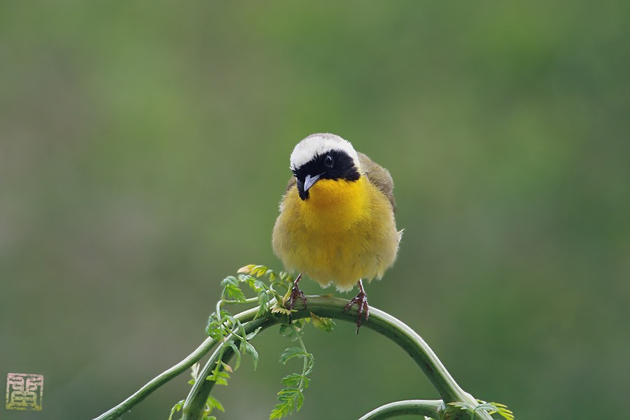 Common Yellowthroat 05101-2