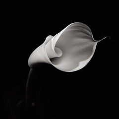 Flower Study I - The secret life of an Arum Lily (Joel Tjintjelaar) Tags: bwphotography tjintjelaar highestposition5exploremay23 blackandwhiteflowerstudy frontpagemay23 twofrontpageson1daywiththisshotand2fromthisseriesinmyalternativestream arumlilybw robertmapplethorpeinspired