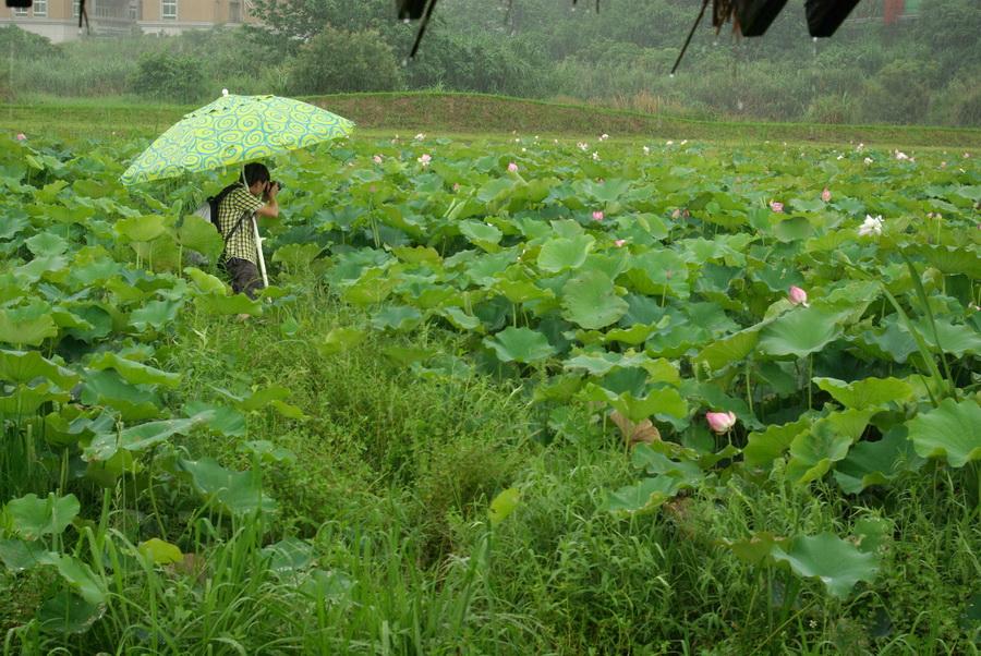 農改場裡聽雨荷