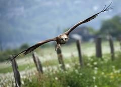 Red Kite approaching (pe_ha45) Tags: redkite milvusmilvus milanroyal milanoreal rotmilan nibbioreale