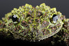 Vietnamese mossy frog (theloderma bicolor) (PeterQQ2009) Tags: animals