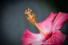 WISHING YOU GREAT SUMMER (Marquisa -) Tags: summer flower macro closeup happy interestingness nikon texas bokeh tx houston sunny explore hibiscus ping svetlana blooming  marquisa explored d700  svetlanavasiliadi russiantexas svetan svetanphotography exploredmay292010250 svetalanavasiliadi