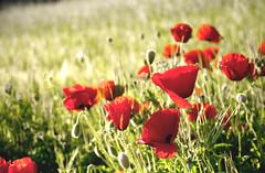 Poppies land  .. more (Inmacor) Tags: red flores flower primavera colors canon garden spring rojo flor colores explore paseo poppy poppies campo alcoy alcoi 240 amapolas fotografas mywinners rojoyverde ltytr2 ltytr1 inmacor