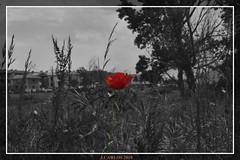 AMAPOLA (((((((-charly-)))))) Tags: flores canon atardecer imagenes guadarrama 2010 450d vosplusbellesphotos travelsofhomerodyssey ufospain