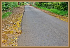 Yellow Carpet: Plantation road in Coorg (1) (Indianature SM) Tags: road india nature karnataka coorg westernghats deccan kodagu peltophorum copperpod indianature deccanplateau snonymous