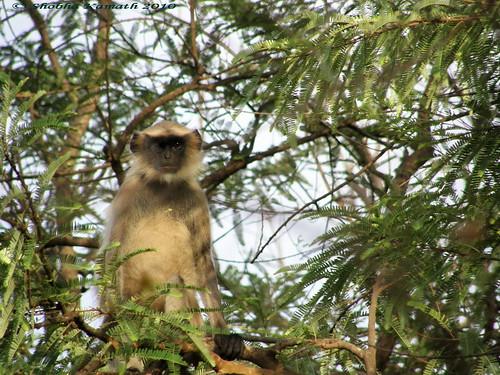 Gir Forest - Langur 1