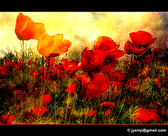 Provence - Camargue, coquelicots (Hatuey Photographies) Tags: flower fleurs poppies provence camargue coquelicots provencecamargue 1001nightsmagiccity ringexcellence dblringexcellence tplringexcellence eltringexcellence hatueyphotographies ©hatueyphotographies