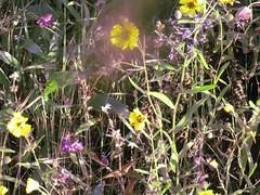 wildflowers on black mountain, sierra by thegreenhorns