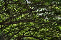 branching networks (kxuser) Tags: world travel vacation usa abstract tree green june digital america hawaii michael blog high branch dynamic pentax web united scenic maui system bark processing imaging vein network states range 2010 michaelleskar leskar kxuser
