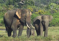 Family (Sara-D) Tags: family nature canon wildlife elephants srilanka ceylon yala tusker sarad asianwildlife saranga wildelephants gamunu sarangadevadealwis wildsrilanka tuskersofyala sarangadeva