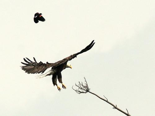Eagle landing 2-20100604