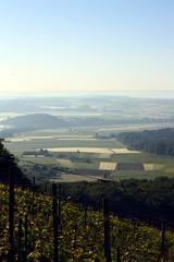 Good morning Baden Wuerttemberg (skubmic) Tags: morning home germany landscape vineyard view wine vine grapes grape wein badenwrttemberg badenwuerttemberg hohenhaslach skubmic strombergheuchelberg