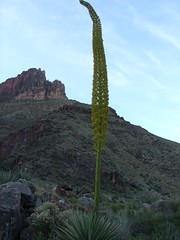 Blooming Cactus on North Kaibab Trail