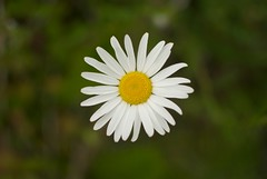 Dog Daisy (On the mountain at dawn) Tags: white mountain flower green nature up yellow dawn nikon raw close daisy d3000