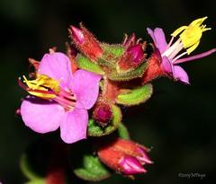 FloraNat_19226#Web (Marcelo Piraj) Tags: macro cores flora flres pndachapadadiamantinabahia