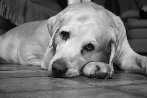 sad labrador dog