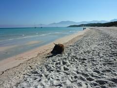 Départ de la plage de Saleccia le matin : la plage vers le N avec la vache