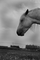 baz (nijac1) Tags: sky white black grass clouds hair mono head connemara stallion mane flowes poney laois connemarastallion connemaraponey