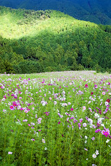Field of Cosmos (pokoroto) Tags: autumn flower green field japan flora october scenery  fukuoka cosmos kyushu 2010  10    kannazuki miyawaka  22  themonthwhentherearenogods gettyimagesjapanq1