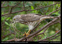 Breakfast (M V Shreeram) Tags: india bird nature birds canon feeding eating reptile wildlife aves lizard ave 7d karnataka hampi avifauna bellary swallowing accipitridae shikra 300mmf4is darojibearsanctuary kamalapura accipterbadius visualquotient wwwvisualquotientnet