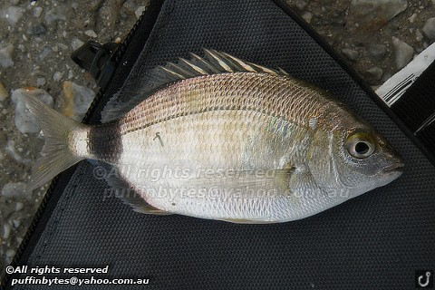 Annular Seabream - Diplodus annularis