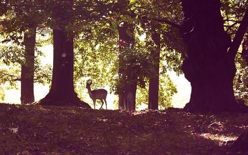 alert deer