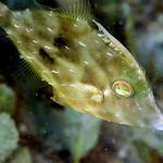 IMG_5408are Planehead Filefish (Stephanolepis hispidus) thumbnail