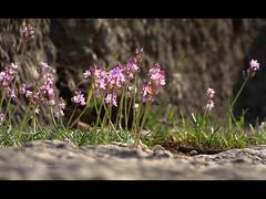 Wild flowers growing in the amphitheatre (VillaRhapsody) Tags: old pink red wild flower stone turkey site roman amphitheatre wildflowers fethiye bigmomma lycean challengeyouwinner letoon likia