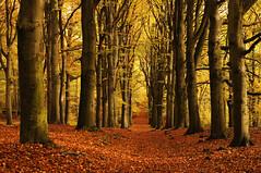 Autumnal (buteijn) Tags: autumn herfst autumnal beukenlaan