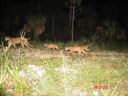 suwannee cougar women A cougar is typically defined as an older woman who is primarily attracted to and may have a sexual relationship with significantly younger men some women consider it a sexist, derogatory term the most commonly accepted definition of a cougar is a woman 40 years of age or older who exclusively.