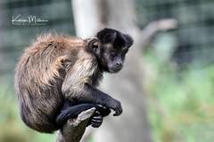 Brown Capuchin Monkey (Karen Miller Photography) Tags: edinburghzoo zoo captivity captive edinburgh animal nikon rzss scotland enclosures karenmillerphotography