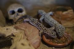 20170626X1909_Leopardgecko_0025 (RascheBilder) Tags: leopardgecko raschebilder