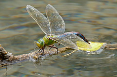 Emperor Dragonfly (Anax imperator) female laying eggs ... (berniedup) Tags: emperordragonfly anaximperator dragonfly taxonomy:binomial=anaximperator lacdubroc lebroc