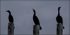 3 Cormorants (KVSE) Tags: cormorant bird 3 three watching atlantic 3birds 3cormorants polesitting pole top lunenburg
