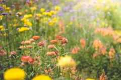 sundown flowers (Schub@) Tags: blumen flowers sundown sunset sonneuntergang sommer summer blumenwiese warm sony a6000 alpha nex e 50mm f18 ilce6000 natur nature grünzeug