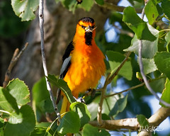 Bullock's Oriole, With Treats For The Kids (dcstep) Tags: oriole bullocksoriole bird orange yellow black englewood colorado unitedstates us n7a0085dxo cherrycreekstatepark nature urban urbannature allrightsreserved copyright2017davidcstephens dxoopticspro114 canon5dmkiv ef500mmf4lisii pixelpeeper handheld getty ecoregistrationcase15586202651