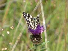 Marbled White butterfly2 (Steeple Ducks) Tags: butterfly butterflies wiltshire upton scudamore a350 bank embankment verge road