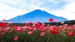 2017 Flower and Fuji (shinichiro*) Tags: 20170704sdqh6632 2017 crazyshin sigmasdquattroh sdqh sigma24105mmf4dgoshsm july summer fuji flower yamanashi japan poppy 花の都公園 ポピー 35578101952 candidate