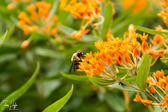 The Gardens of Mount Vernon (lm_jns32) Tags: wildflower flowers garden bee necter butterflyweed mountvernon