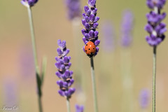 Welcome July with flowers fragrance (Irina1010_OFF) Tags: lavender flowers fragrance perfume summer ladybug red dots blackdots bokeh macro nature canon ngc