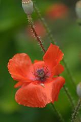 20170702_Jardins_Secrets_Vaulx_Fl (19 sur 20) (calace74) Tags: rhonealpes fleur france insectes jardin jardinssecrets macro vaulx