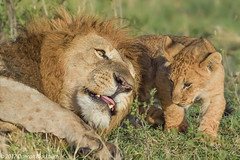 Father and Son (Duncan Blackburn) Tags: 2017 big5 cat kenya masaimara lion mammal nikon nature wildlife sunrays5