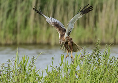 Marsh Harrier - About to strike (Ann and Chris) Tags: avian amazing awesome bird flying feather gorgeous hunting hovering harrier wildlife wings marsh nature outdoors prey raptor stunning unusual wild water wildllife