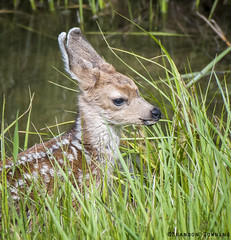 Mule Deer Fawn (Brandon Downing) Tags: river love deer doe beautiful nikon nature nik new neck d500 outdoors light lens newborn mule fawn