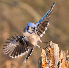 Incoming! (JRIDLEY1) Tags: blue bird nikon michigan bluejay stump 500mm soe abigfave flickrdiamond brightonmichigan nikond3 rubyphotographer saariysqualitypictures jridley1 jimridley bestofmywinners dailynaturetnc09 httpjimridleyzenfoliocom bluejayflying flyingbluejay photocontesttnc10 lifetnc10 jimridleyphotography photocontesttnc11 photocontesttnc12 photocontesttnc13