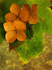 Ode to Autumn (njk1951) Tags: autumn texture ode fourseasons hydrangea vivaldi driedhydrangea odetoautumn favoriteseason memoriesbook