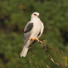 White-tailed Kite (spiderhunters) Tags: bird whitetailedkite northamericanbirds elanusleucurus sanfranciscobaybirds californiabirds