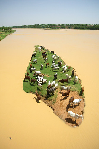 Livestock graze on an island in the Niger