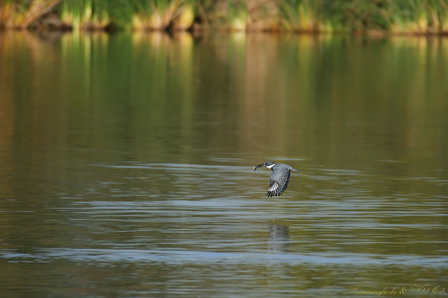 Belted-Kingfisher-110912