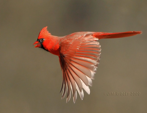 Flying Northern Cardinal!